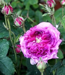 Cerise Rose