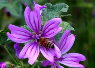 Honey Bee on a Wild Mallow flower