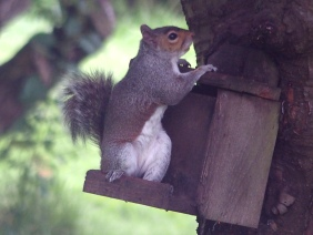 European Grey Squirrel