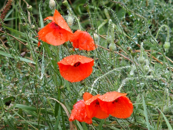 Wet Poppies.jpg