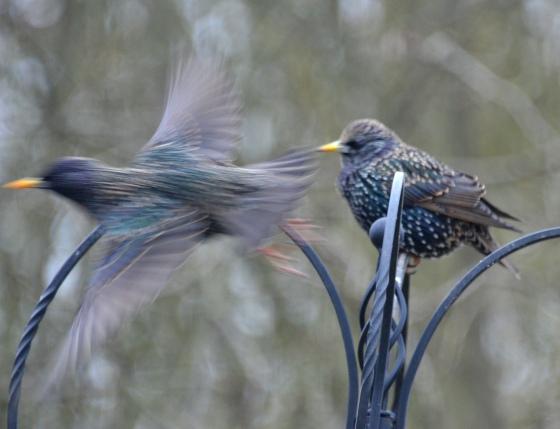 Two Starlings.jpg