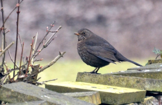 female-blackbird