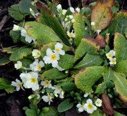 Ragged Primrose Flowers