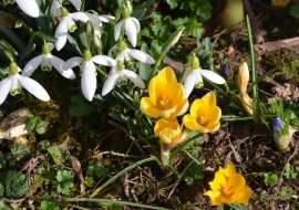 White Snowdrops and Yellow Crocus