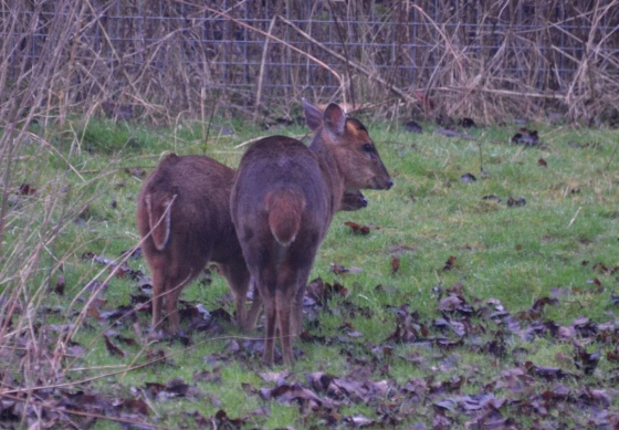 two-muntjac