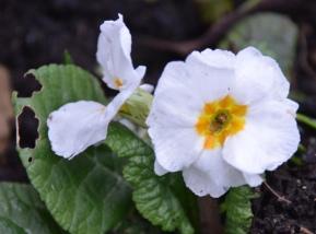 White Polyanthus