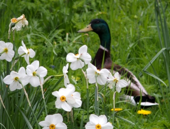 Mallard and Pheasant Eye Narcissus
