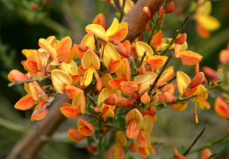Orange Broome