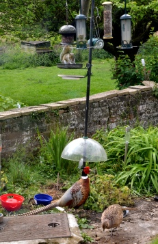 Mr and Mrs Pheasant and a European Grey Squirrel